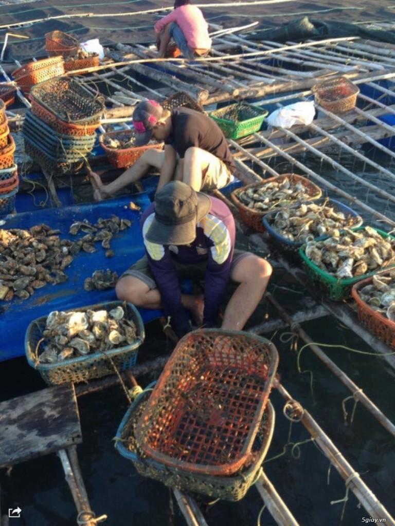 Ngư dân thu hoạch hàu sống